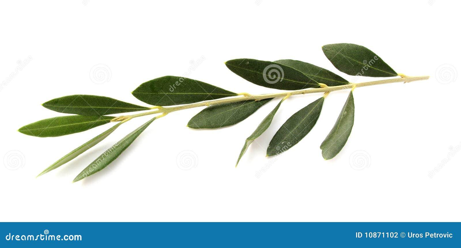 Rami di ulivo fotografia stock immagine 10871102 for Acquisto piante ulivo
