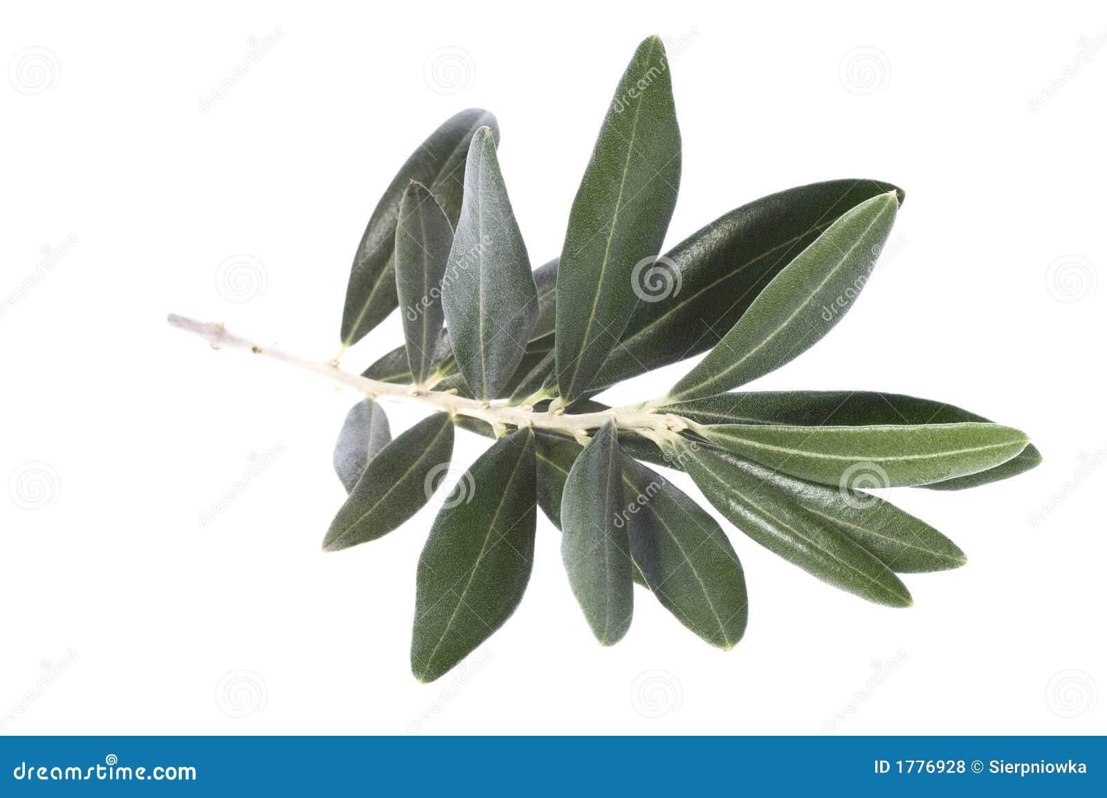 Rami di ulivo simbolo di pace fotografie stock libere da for Acquisto piante ulivo