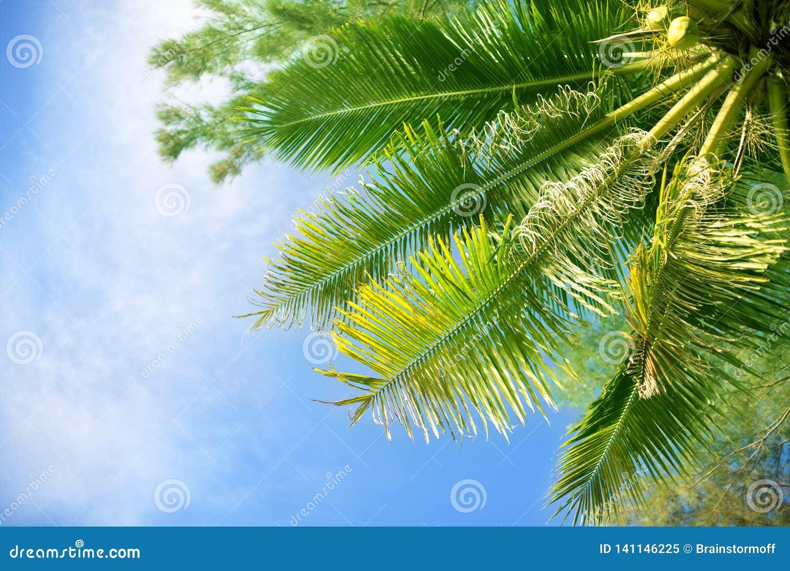 Rami di verde della palma su cielo blu luminoso, fondo bianco delle nuvole, giorno soleggiato sulla spiaggia tropicale, manifesto