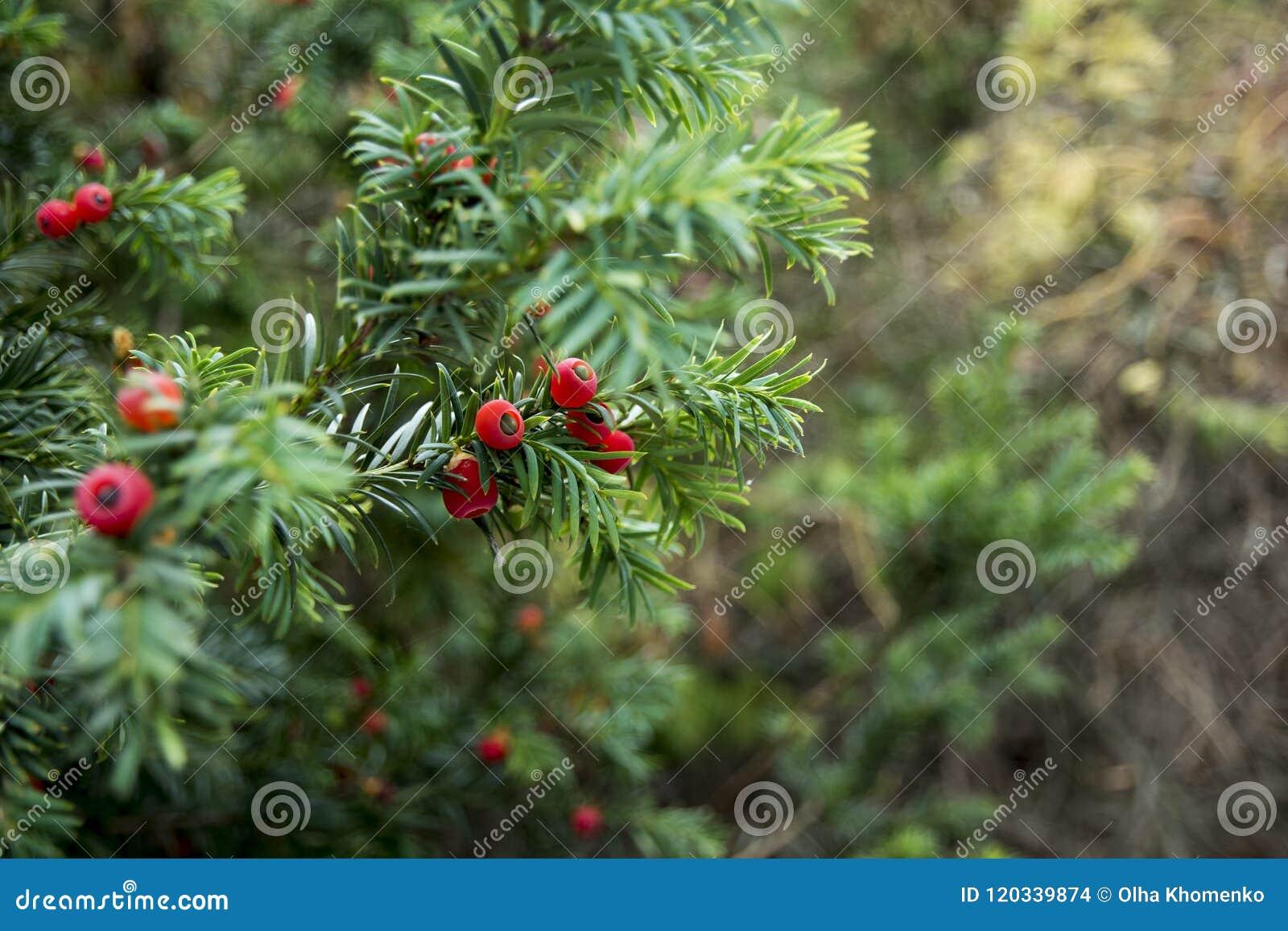 Albero Con Bacche Rosse rami verdi dell'albero del tasso con le bacche rosse