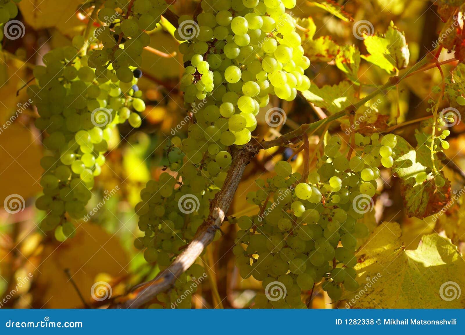Ramificación de la uva