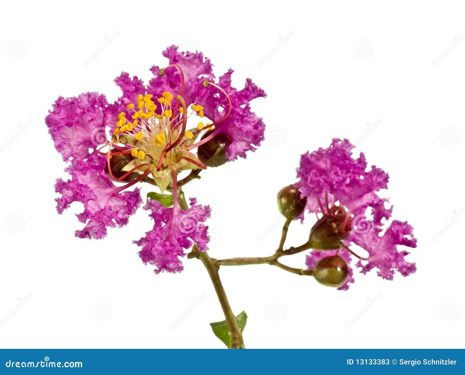Ramificación de Myrtle de Crepe de la lila con las flores horizontales
