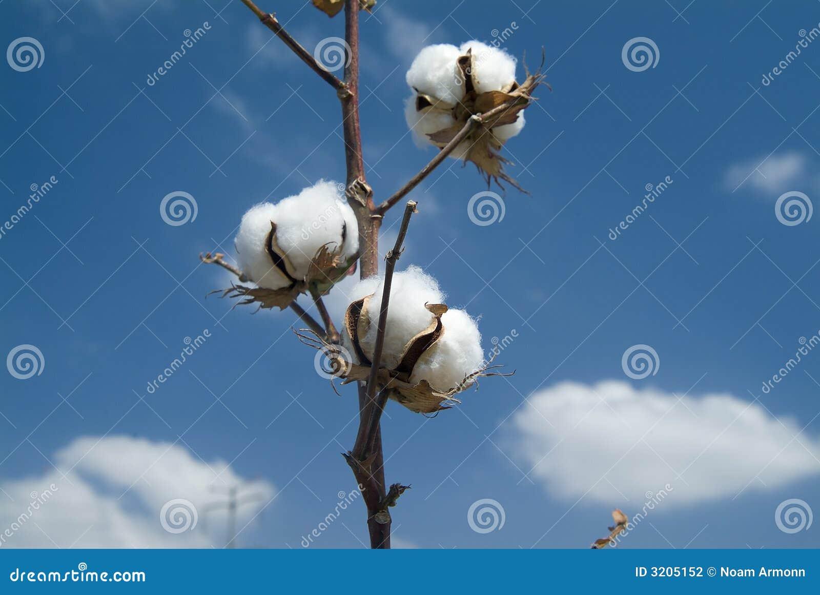 Ramificación del algodón