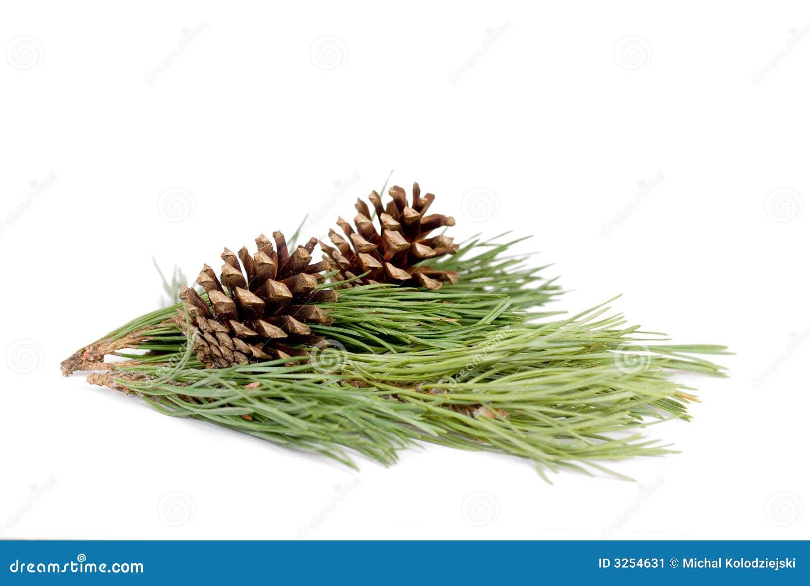 Ramificación del pino aislada