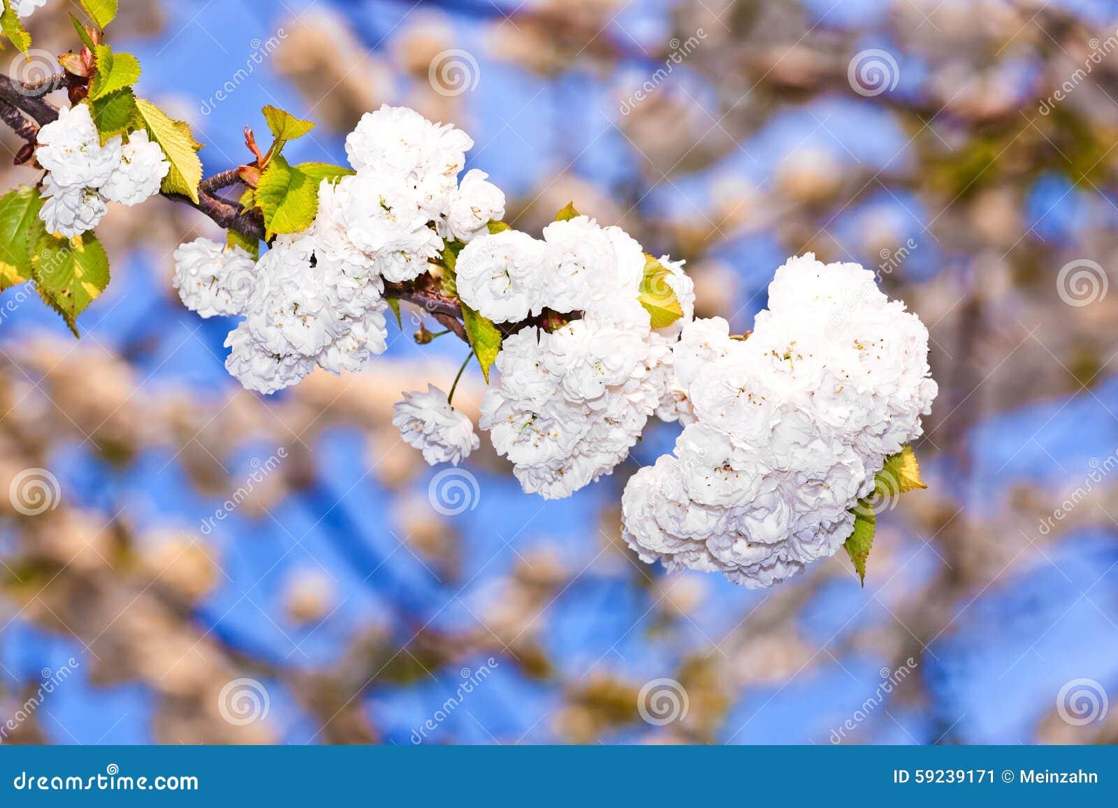 Download Ramificación Del Primer De La Floración En Resorte Imagen de archivo - Imagen de sueño, hermoso: 59239171