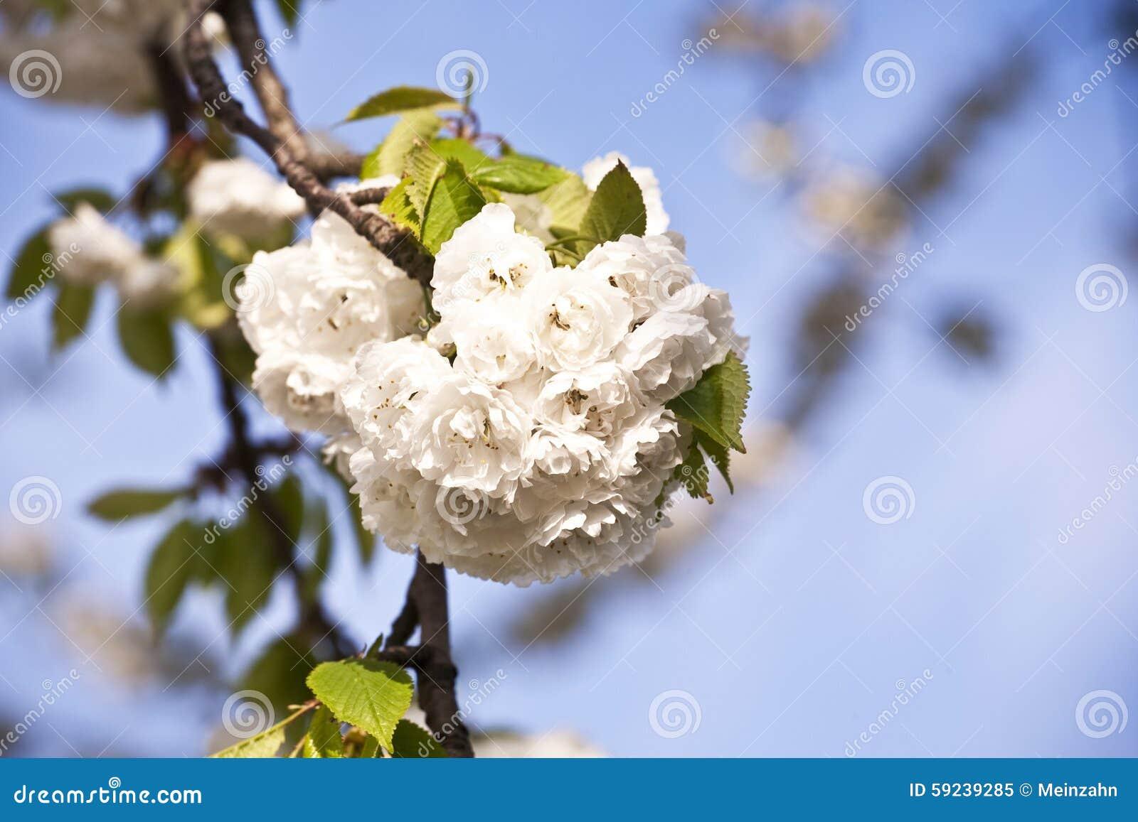 Download Ramificación Del Primer De La Floración En Resorte Imagen de archivo - Imagen de awakening, fresco: 59239285