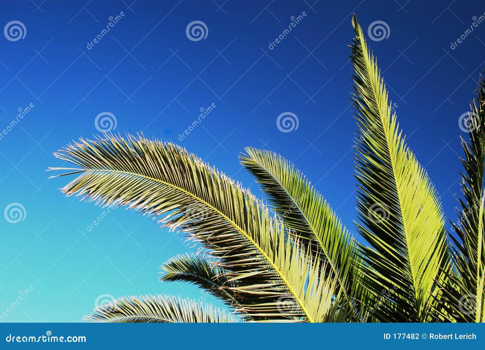 Ramificaciones de la palmera