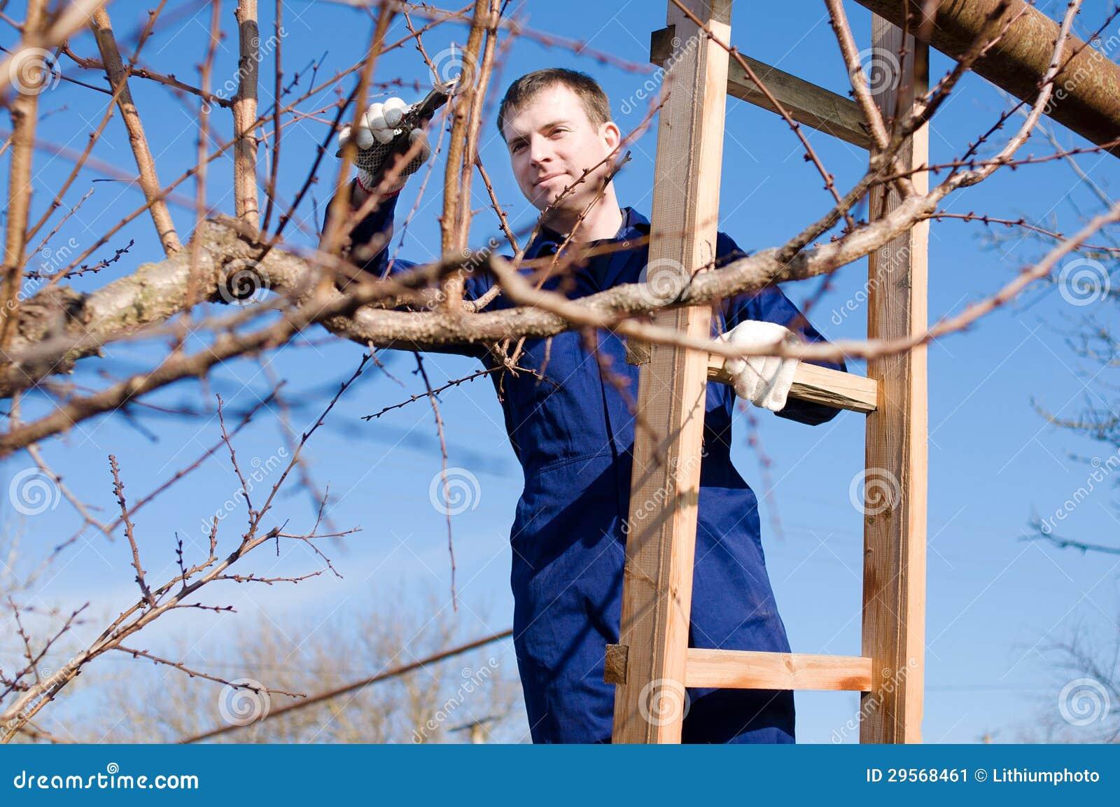 Ramificaciones del albaricoque de la poda del hombre joven - Poda del cerezo joven ...