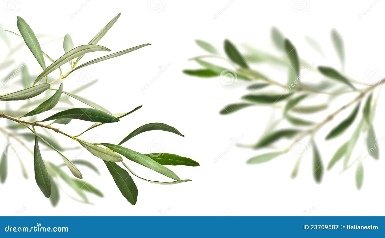 Ramificaciones del olivo