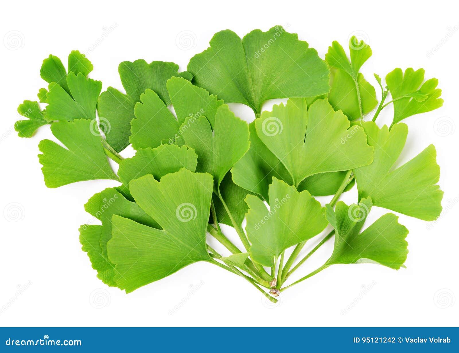 Ramifichi con le foglie verdi del ginkgo biloba