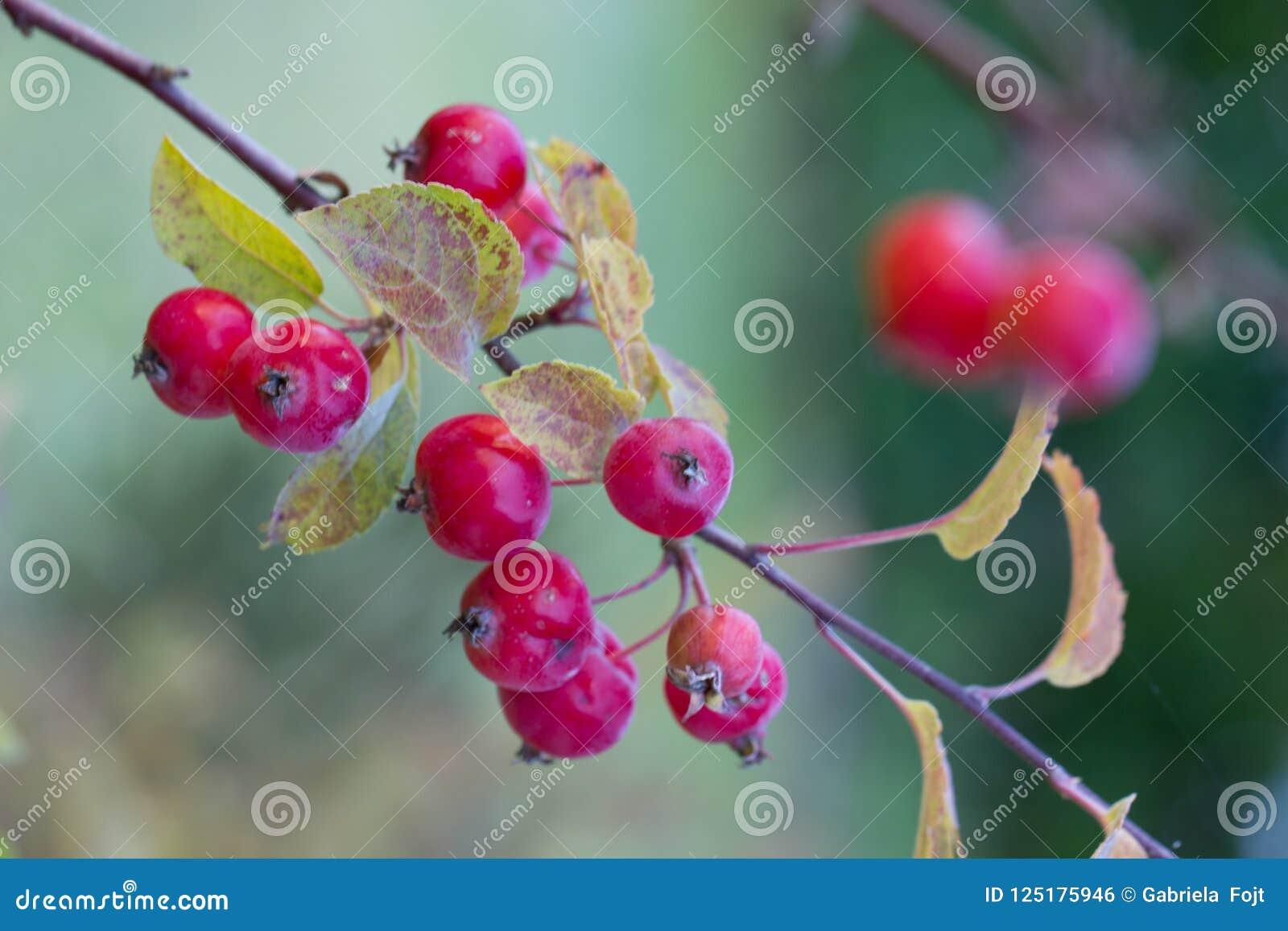 Ramifique com frutos vermelhos na queda