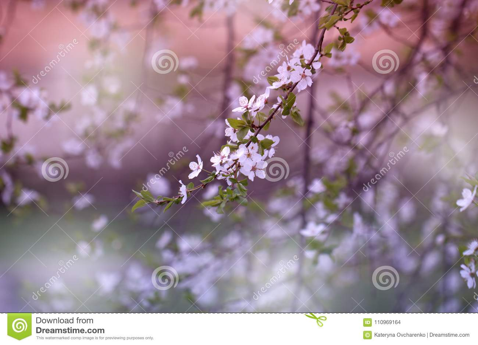 Ramifique con la floración fresca del primer salvaje de la flor del ciruelo-árbol en Gard