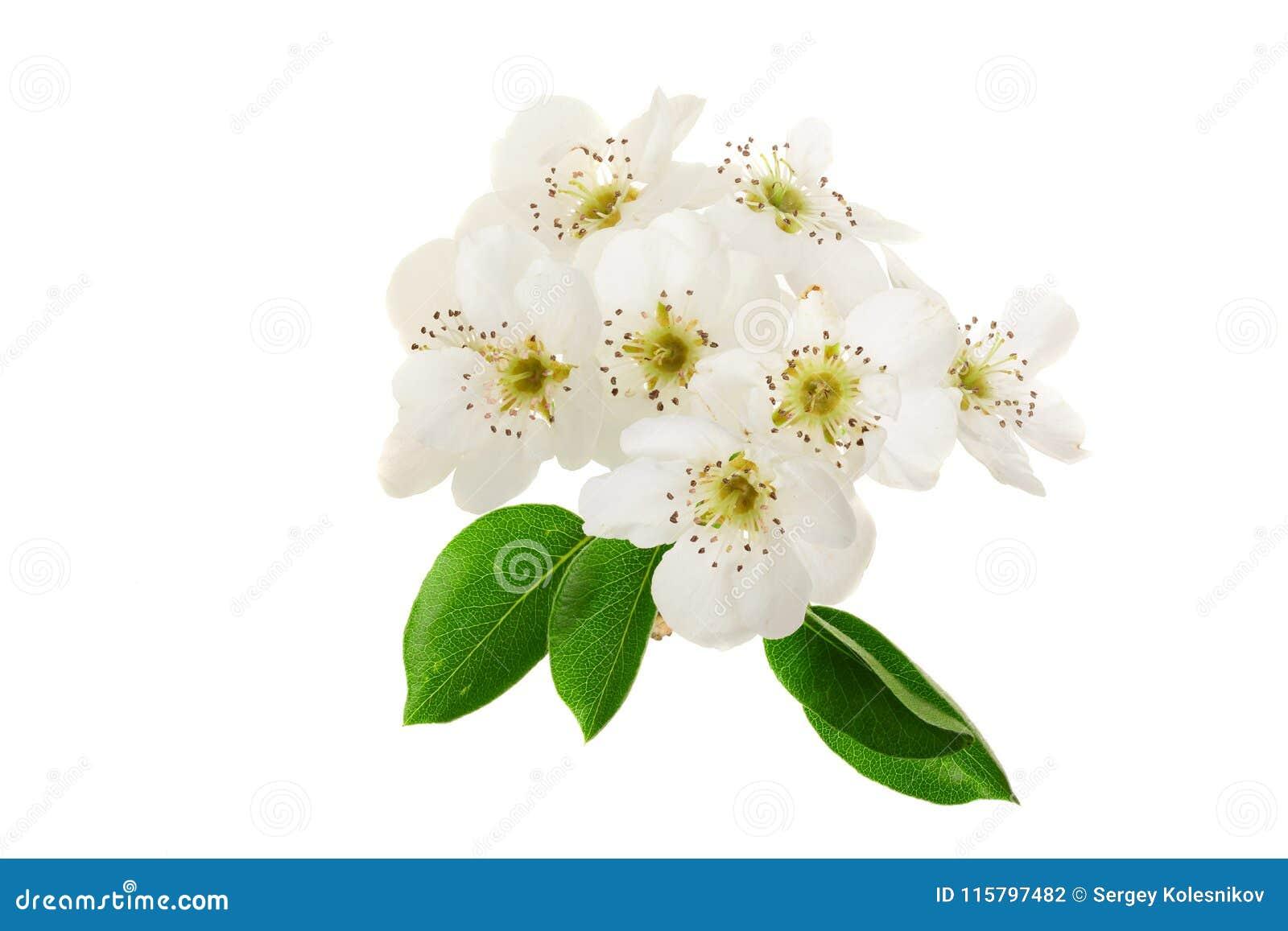 Ramifique con las flores de la pera aisladas en el fondo blanco Visión superior Endecha plana
