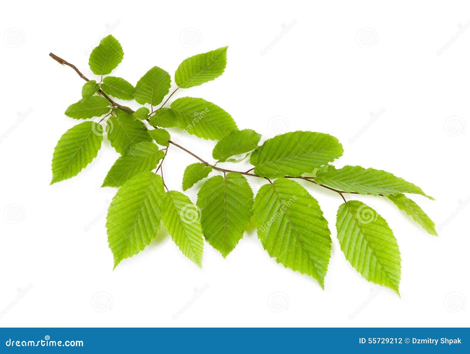 Ramifique Con Las Hojas Verdes Aisladas En Un Fondo Blanco