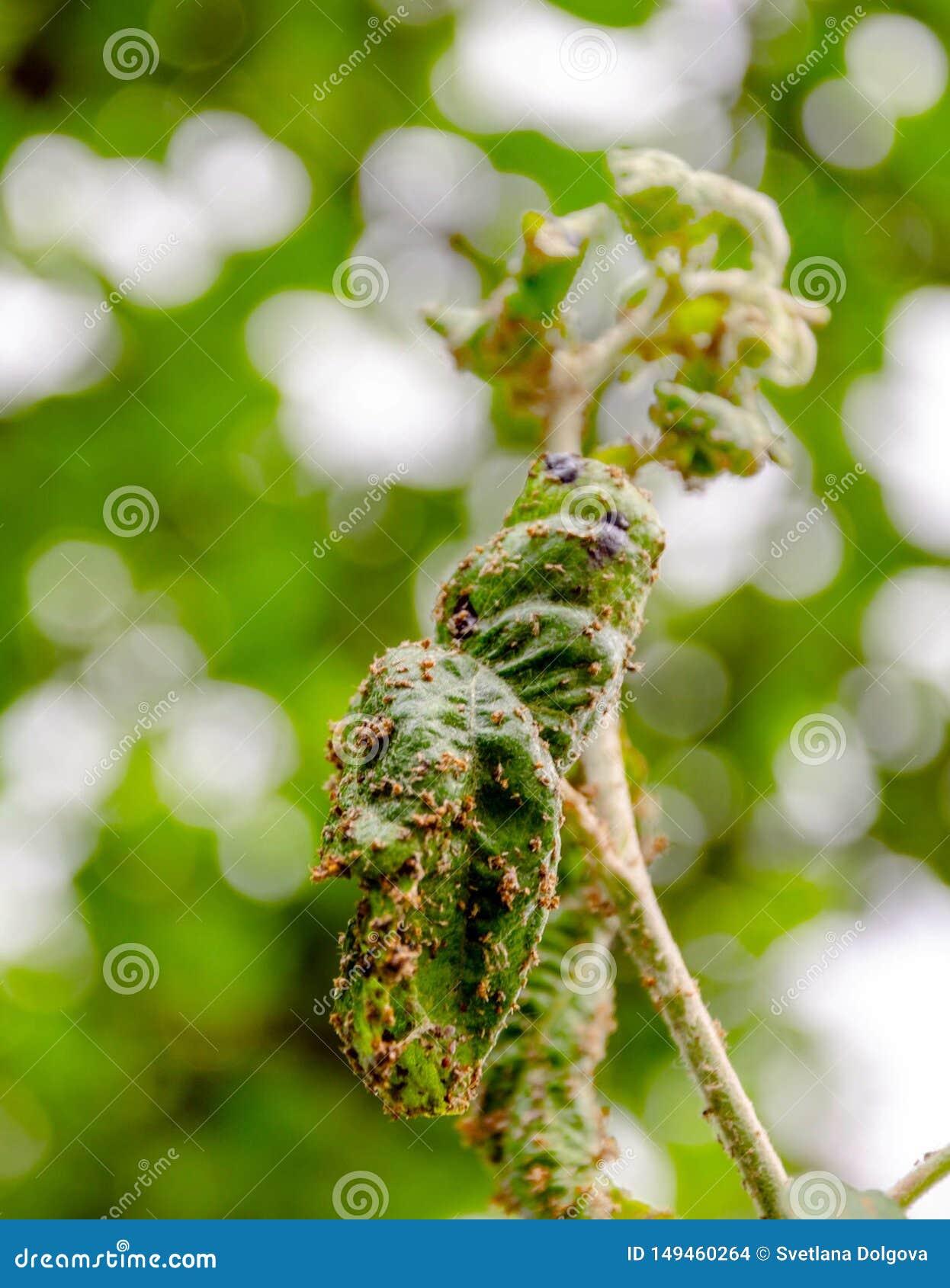 Ramo da árvore de maçã com as folhas afetadas pelo afídio
