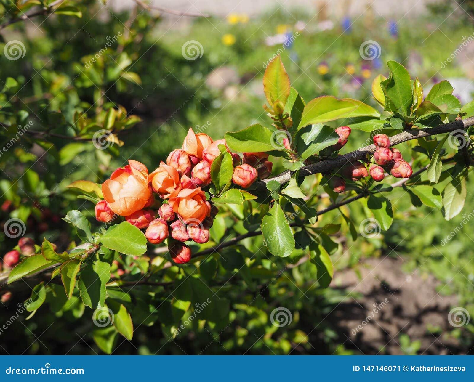 Ramo da árvore que floresce com as flores vermelhas no dia ensolarado