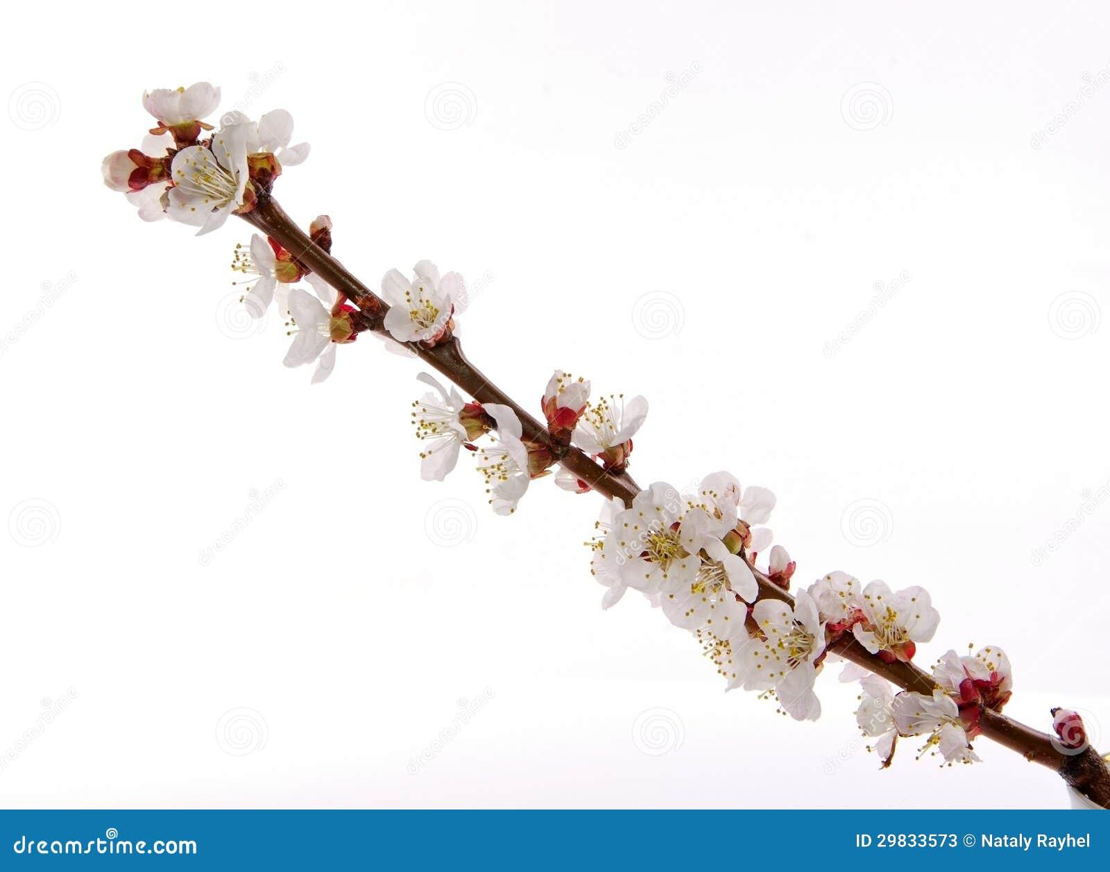 Ramo da flor do abricó