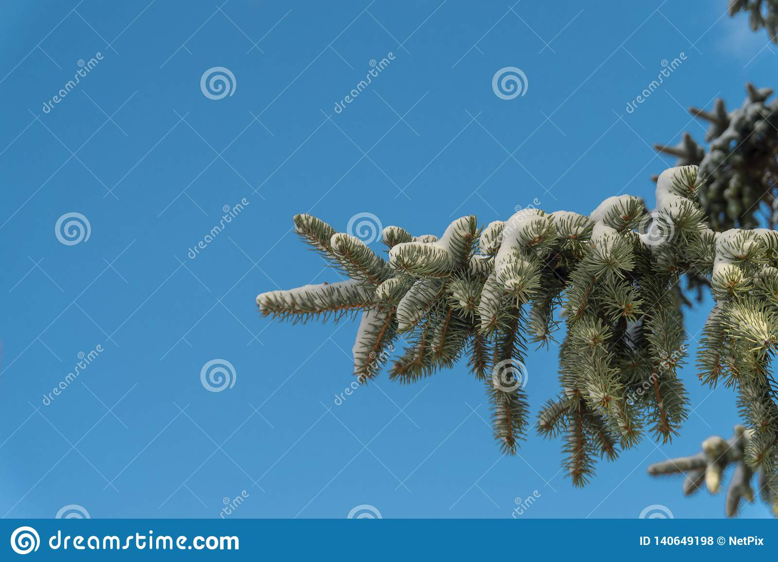 Ramo de árvore coberto de neve do abeto vermelho