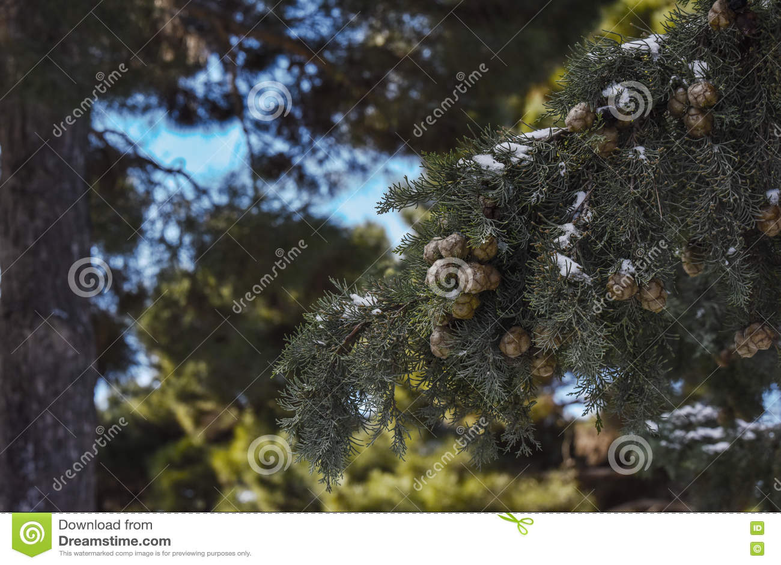 Ramo de árvore de Cypress na floresta