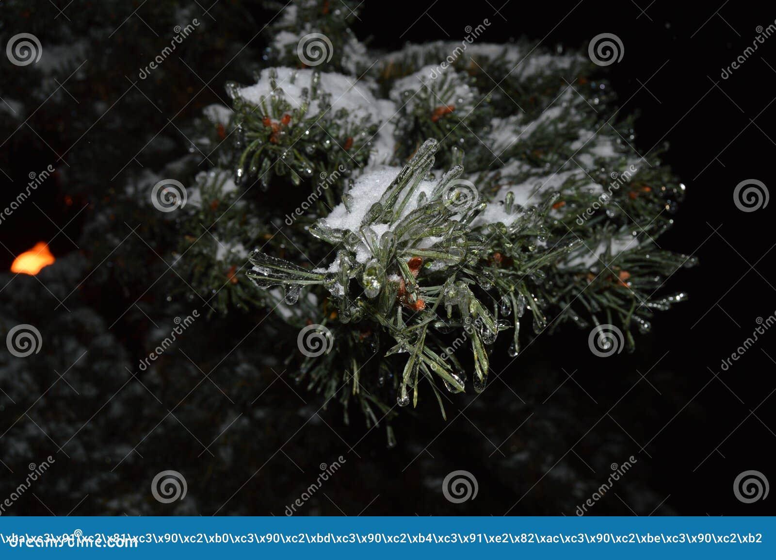 Ramo de ?rvore do Natal da noite com neve e sincelos