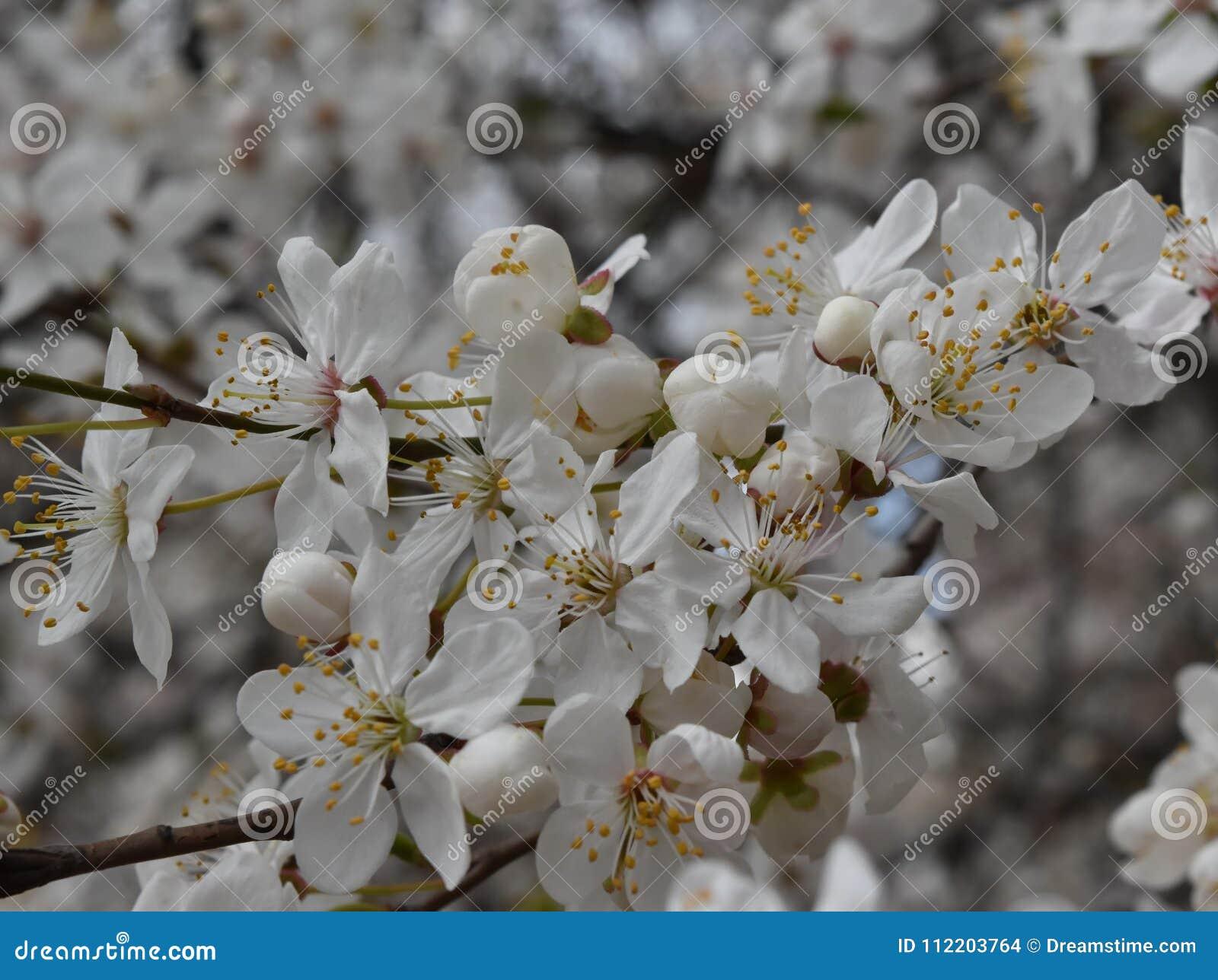 Ramo de árvore florescido