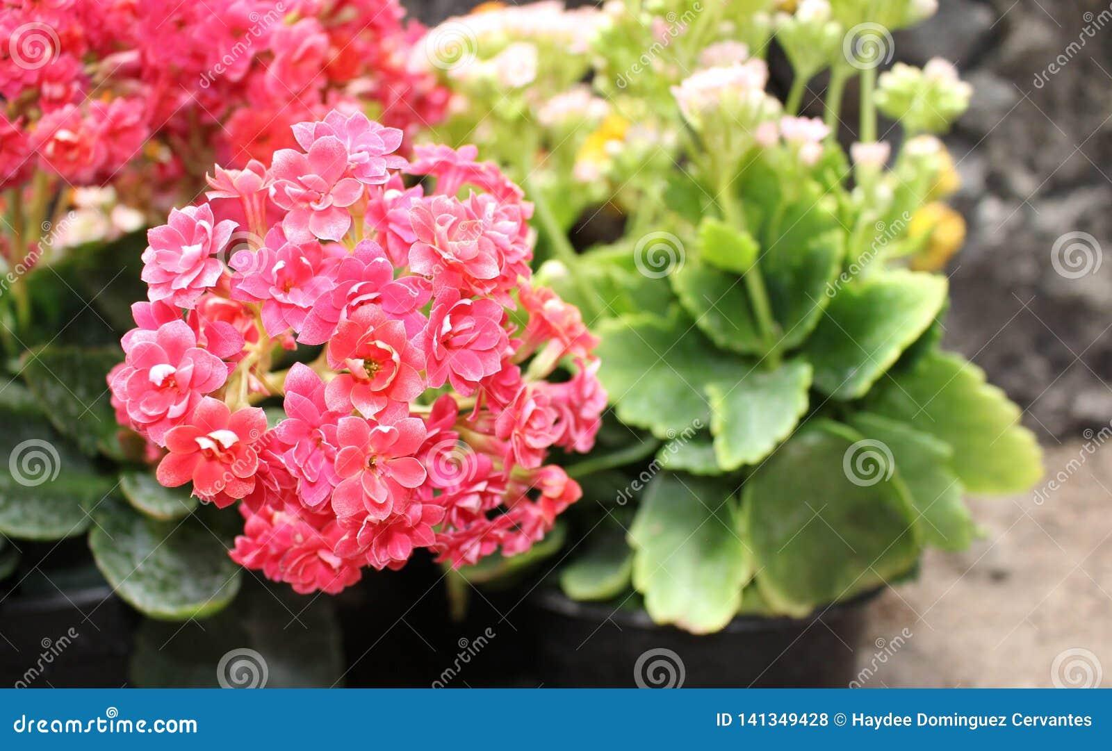 Ramo de flores minúsculas de la planta del kalanchoe