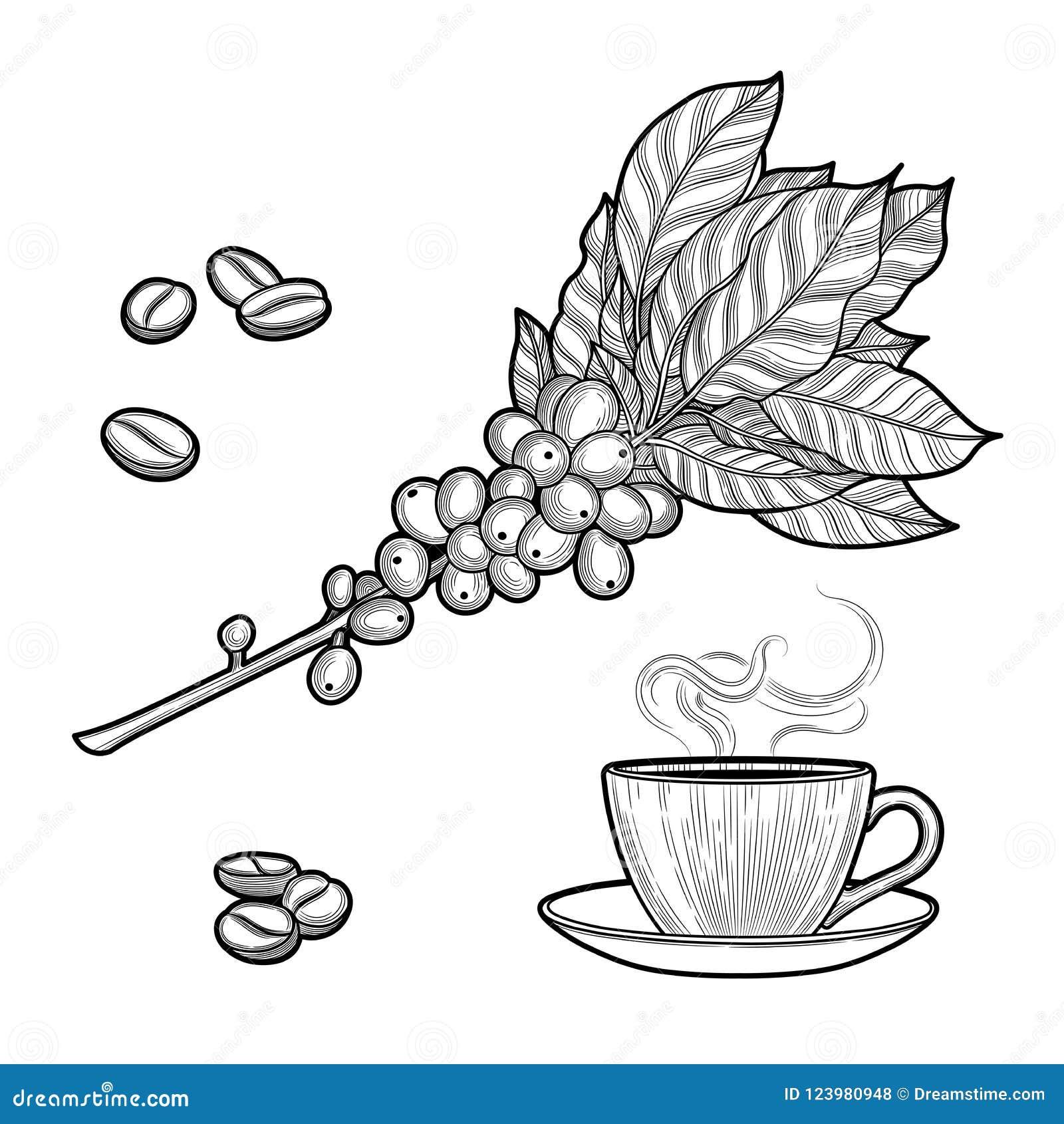 Ramo del caffè Pianta con le foglie, bacche Bevanda naturale della caffeina Bastoni di cannella, anice