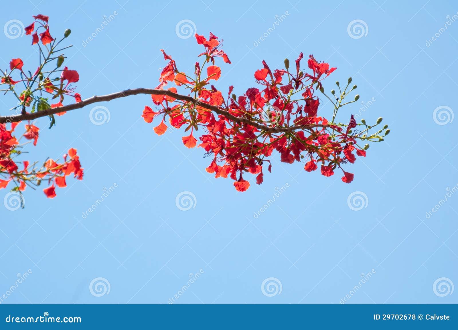 Delonix regia o ramo di albero della fiamma con i fiori for Albero con fiori blu