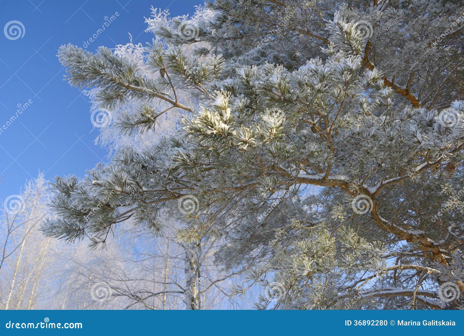 Download Ramo del pino fotografia stock. Immagine di radura, filiale - 36892280