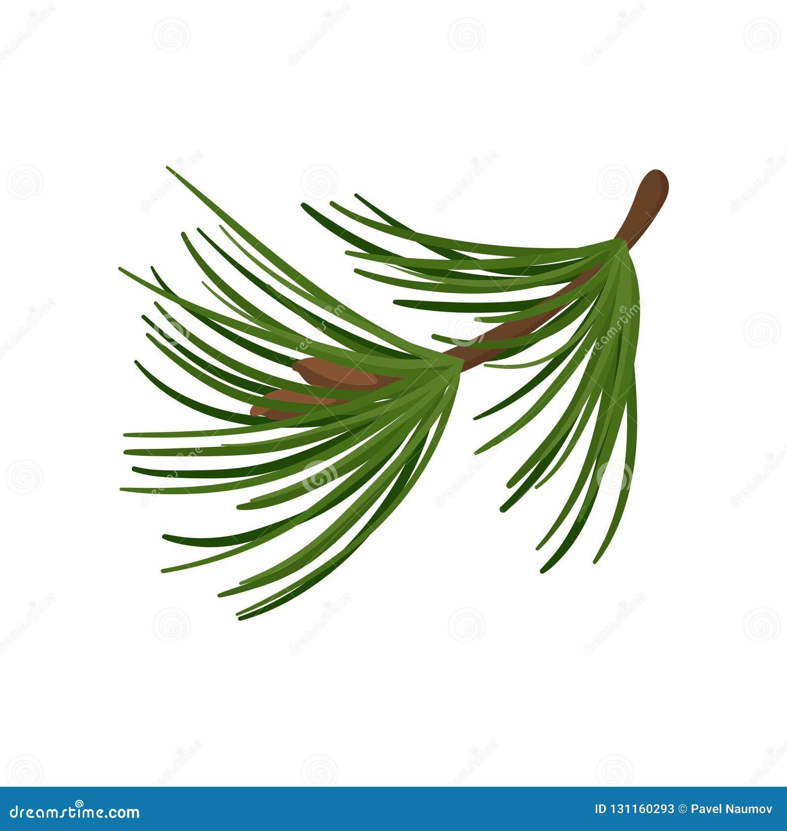 Auguri Di Natale Lunghi.Ramo Del Pino Con Gli Aghi Verdi Lunghi Ramoscello Conifero Pianta