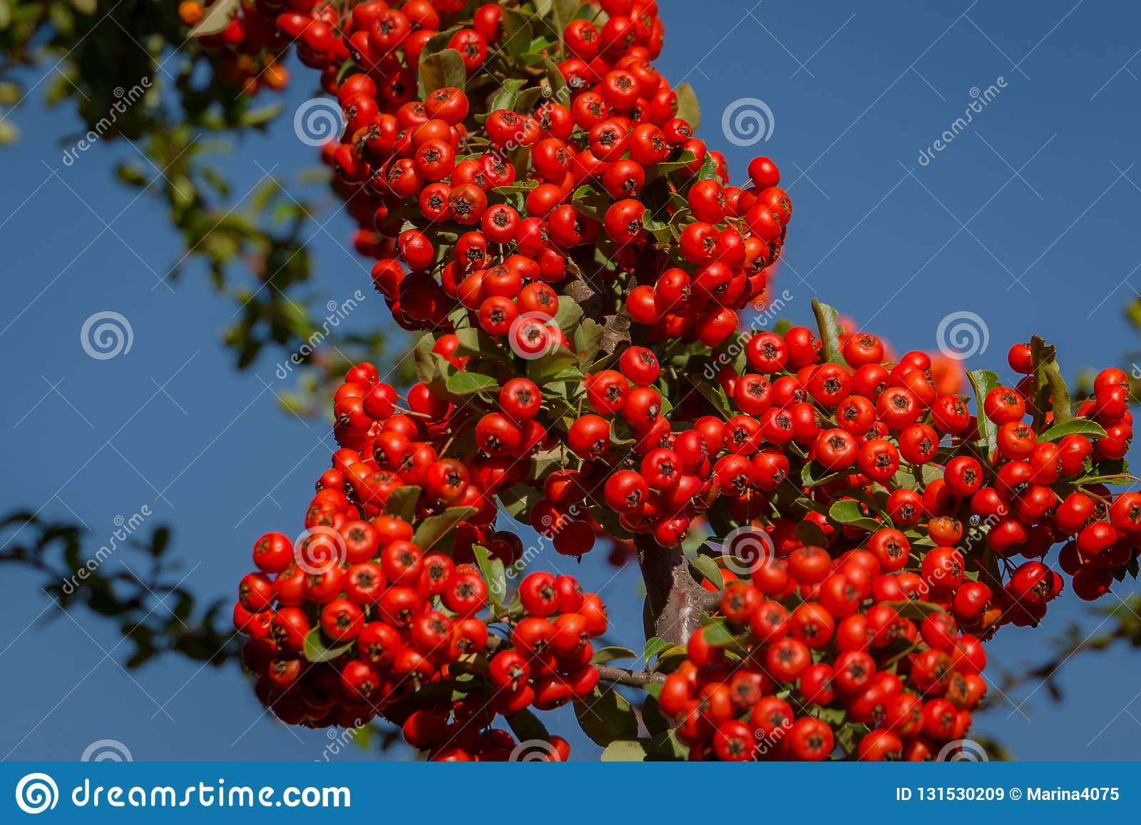 Pianta Ornamentale Con Bacche Rosse ramo del pyracantha o della pianta del firethorn con le