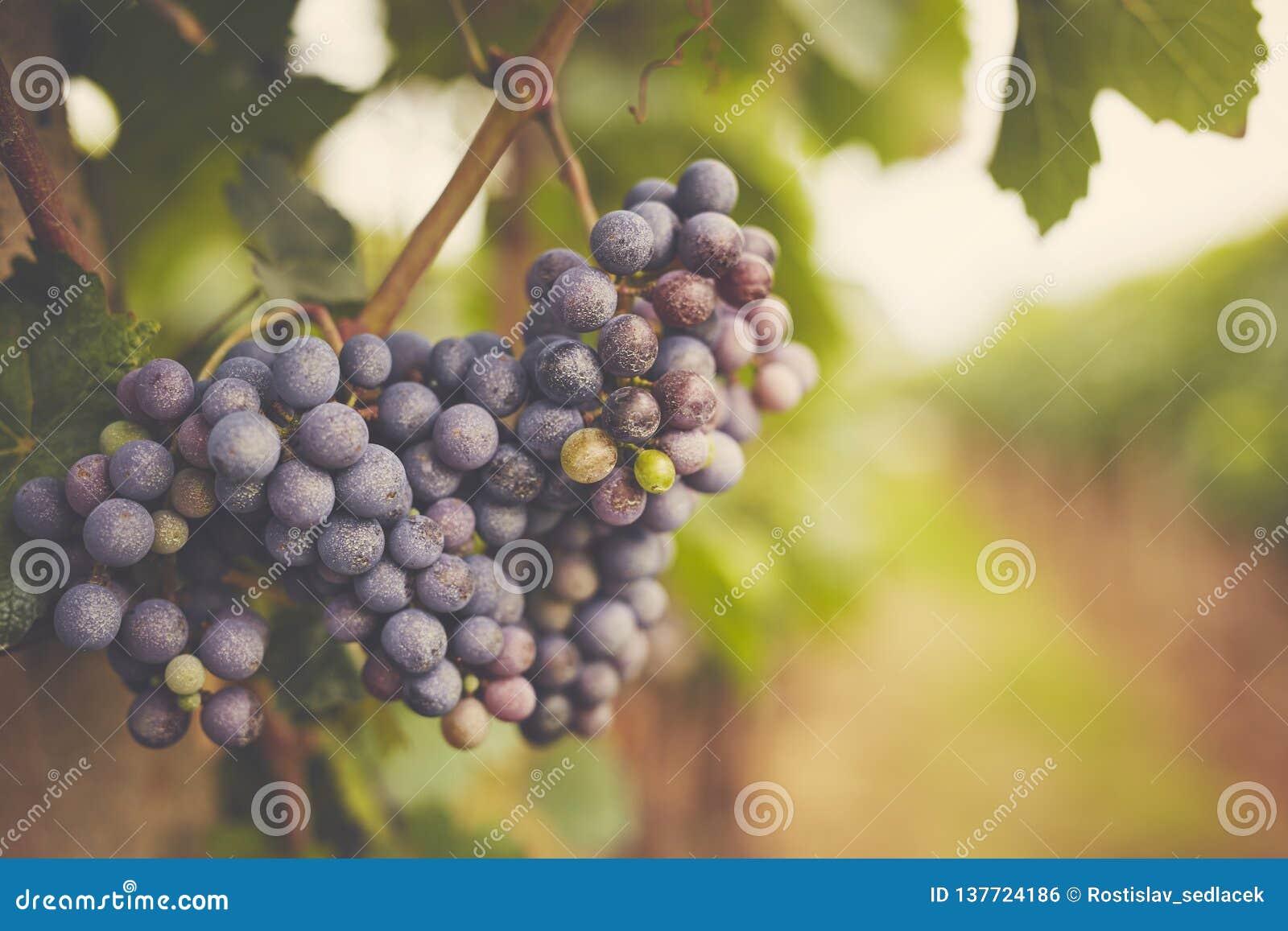 Ramo dell uva del vino rosso, tonificato