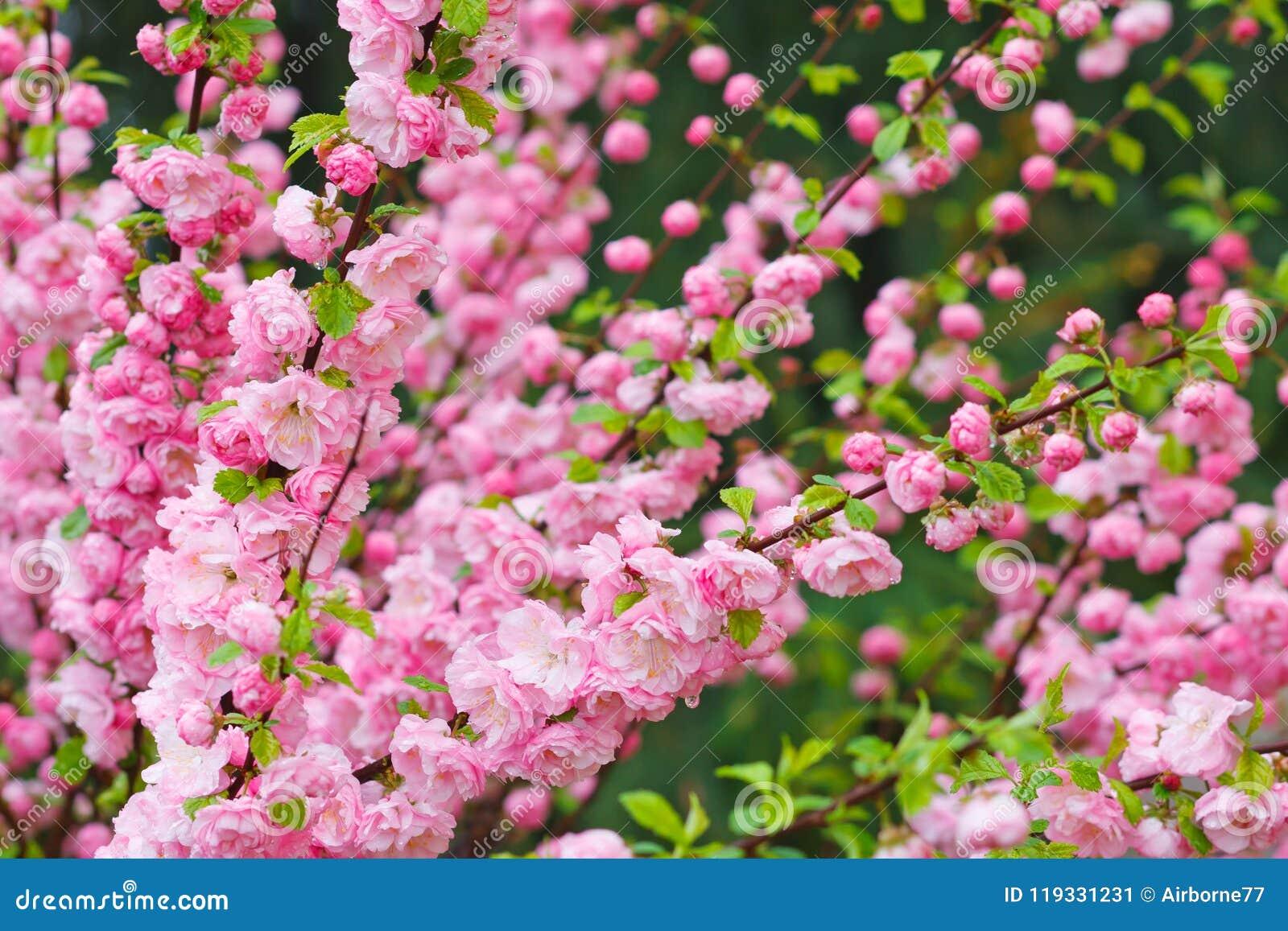 Ramo della mandorla con i bei fiori rosa