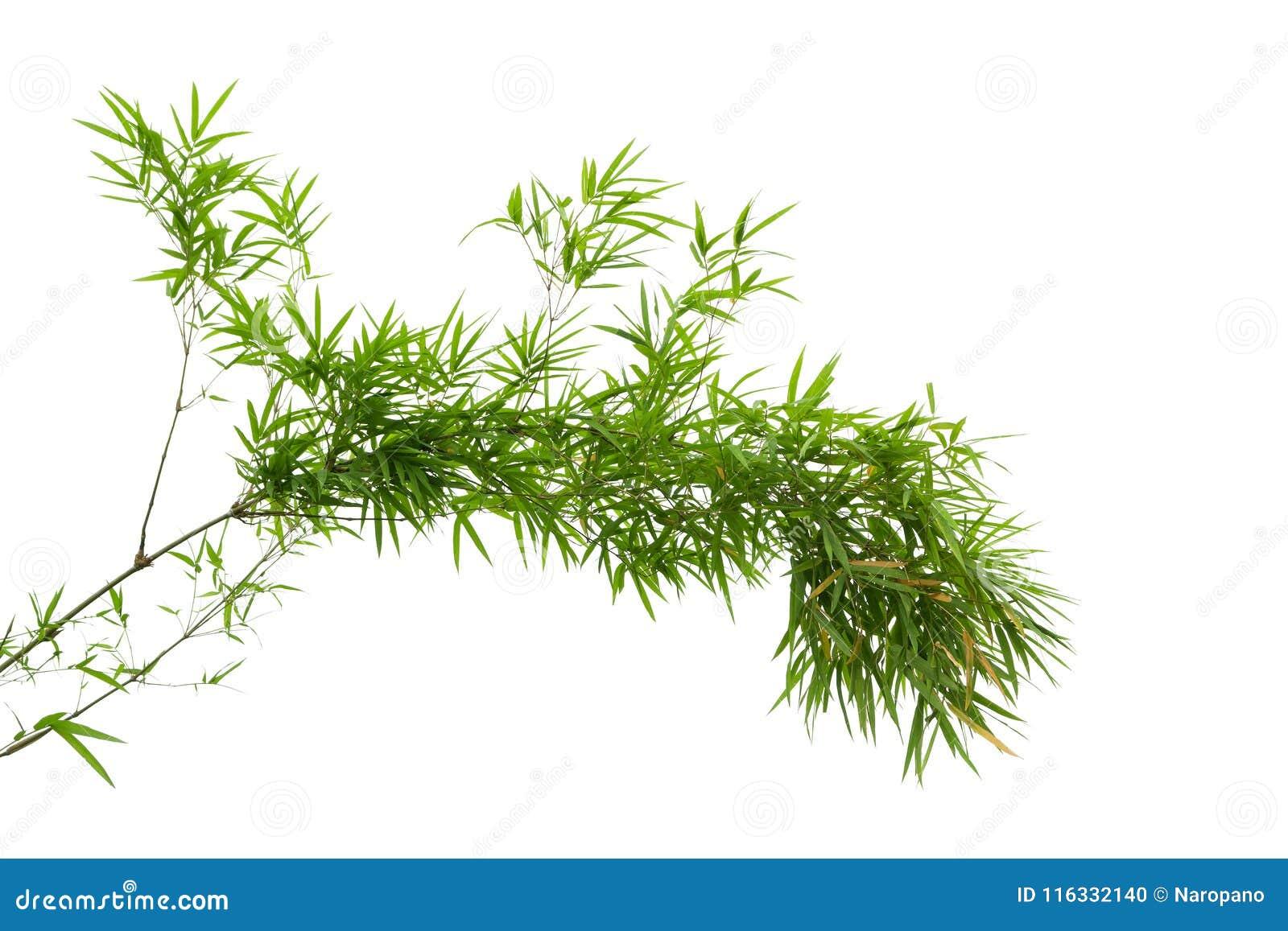 Ramo di albero di bambù isolato su fondo bianco
