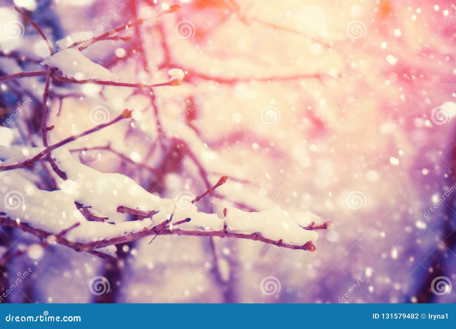 Ramo di albero coperto di neve Fondo della natura di inverno con sole