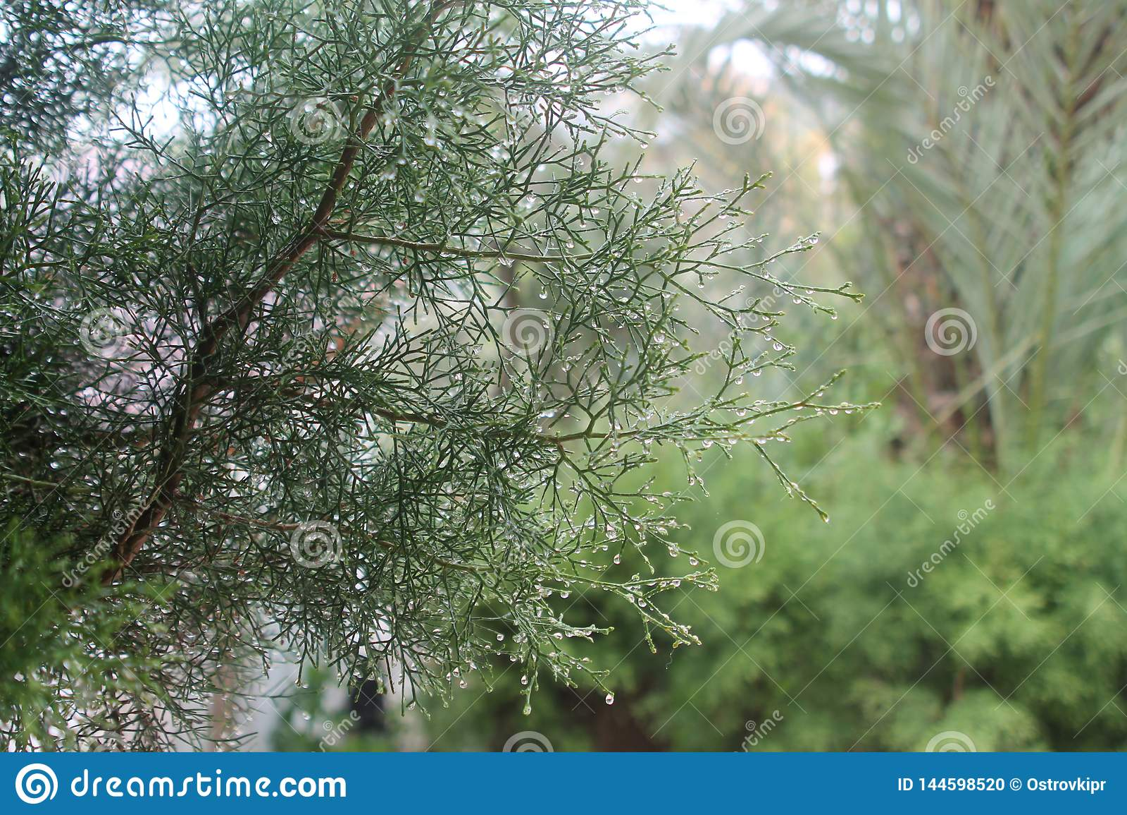 Ramo di albero del cedro con le gocce di pioggia