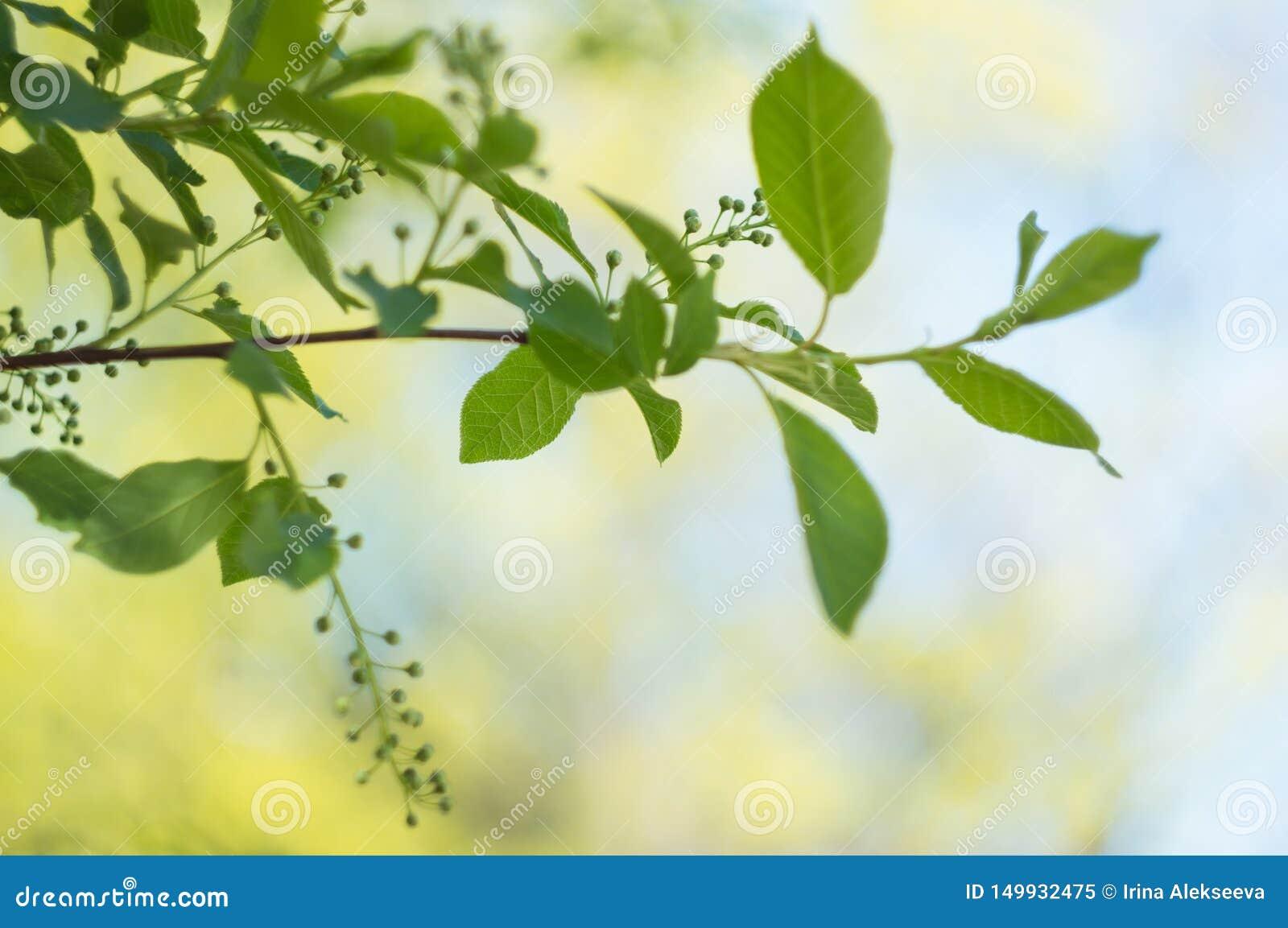 Ramo di albero in primavera con le giovani foglie su un fondo vago Fuoco molle Copi lo spazio Sfondo naturale