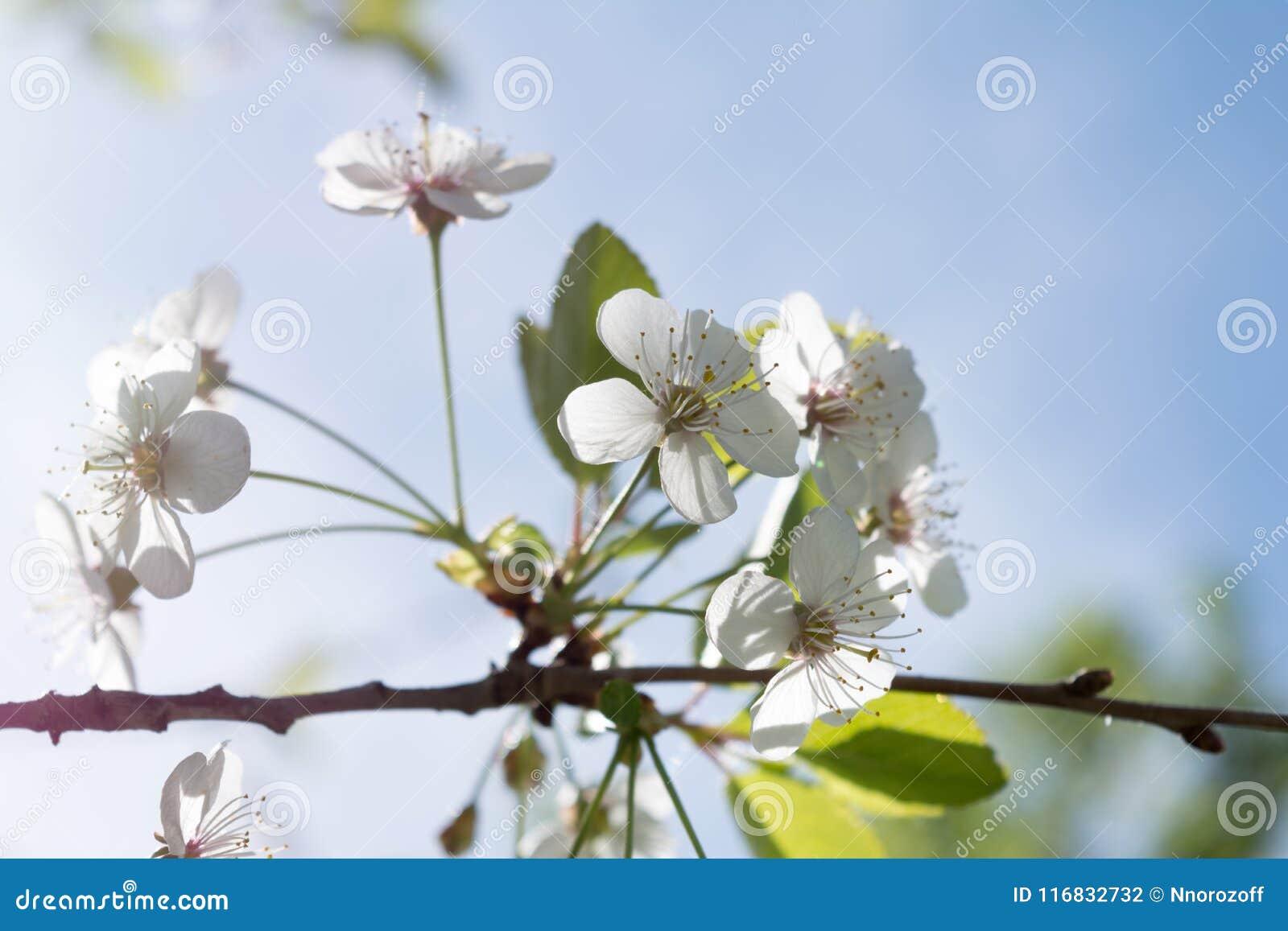 Ramo di di melo con i fiori bianchi e le foglie verdi, un albero di fioritura del giardino, fondo della natura