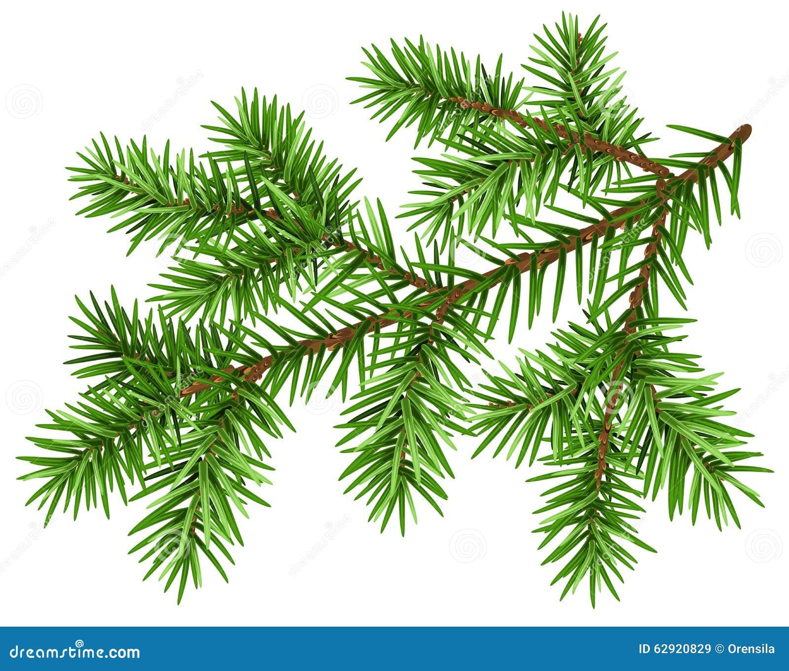 Ramo di pino Ramo lanuginoso verde del pino