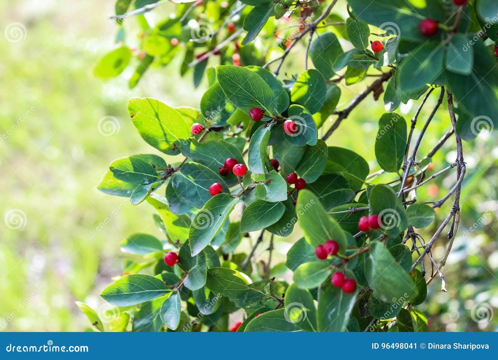 Albero Con Bacche Rosse ramo di un albero con le piccole bacche rosse immagine stock