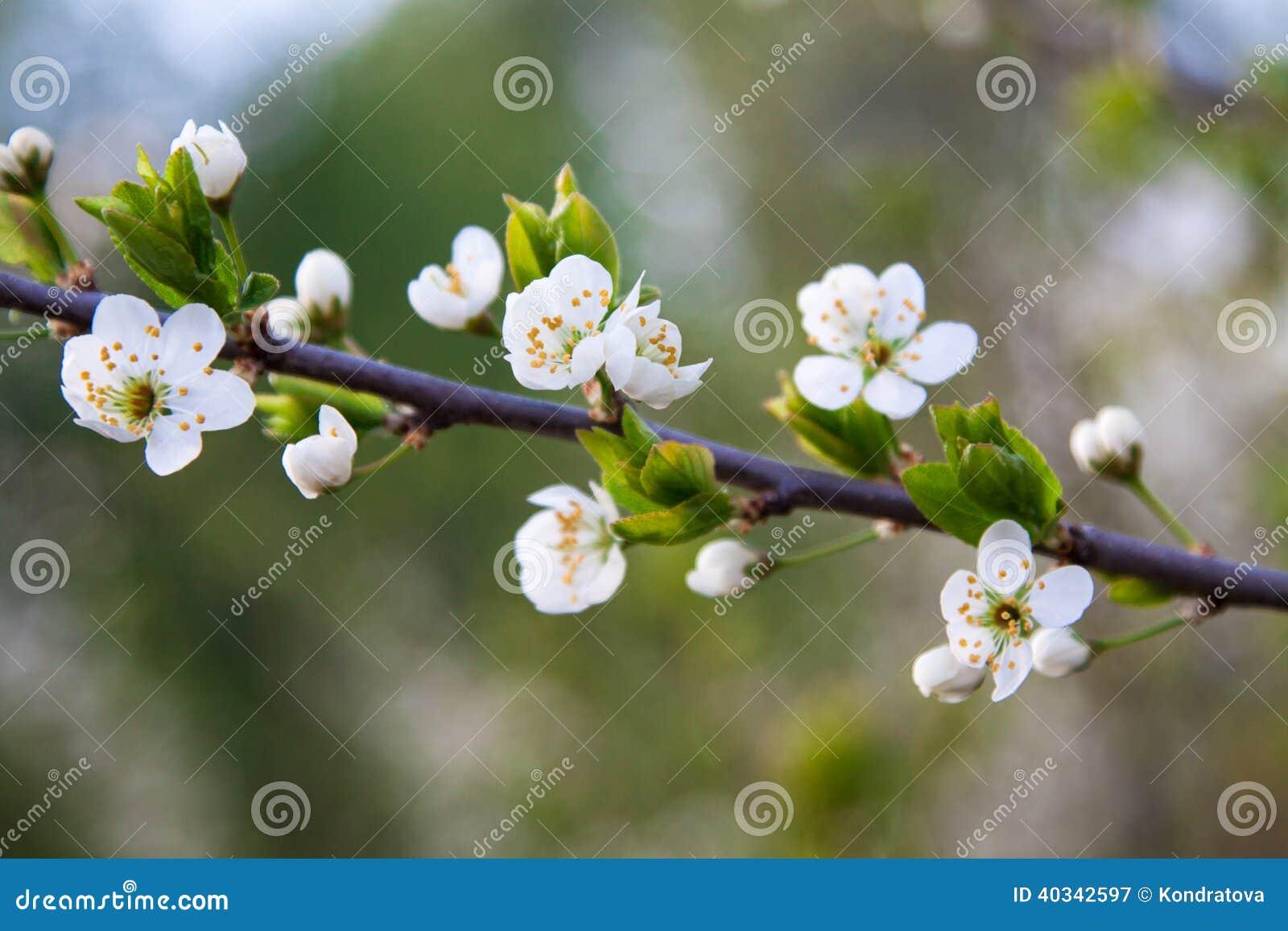 Ramo di un albero sbocciante con i fiori bianchi for Albero con fiori blu