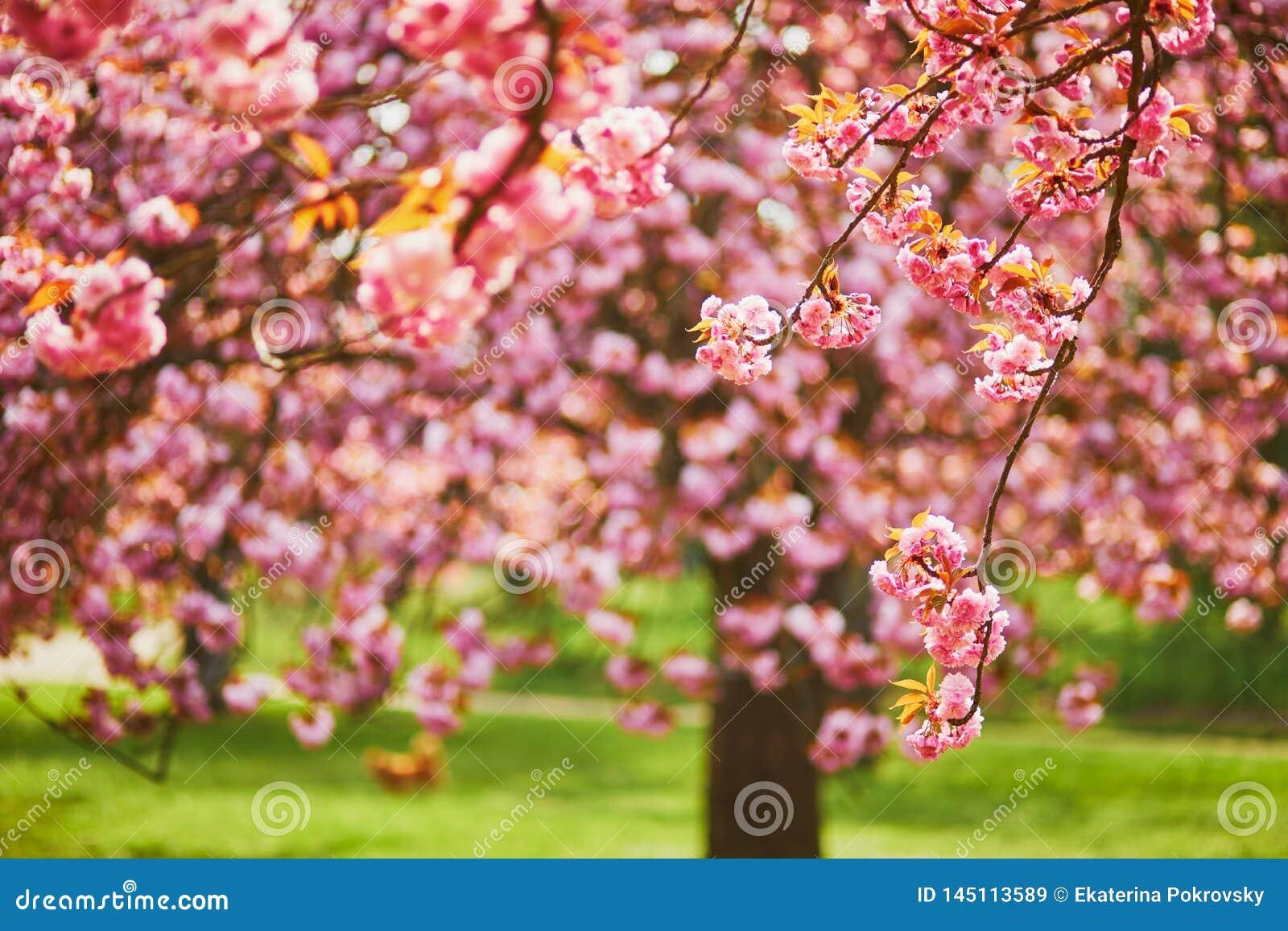Ramo di un ciliegio con i fiori rosa in piena fioritura