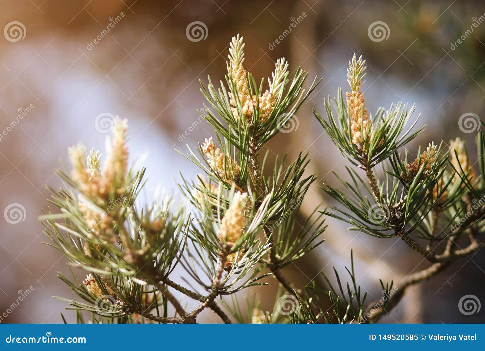 Ramo do pinho de florescência no verão