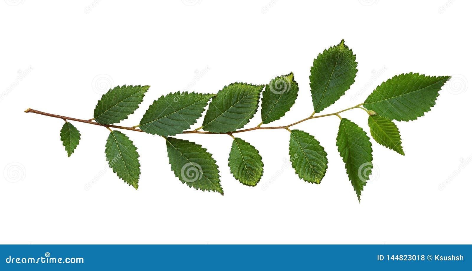Ramo fresco con le foglie verdi