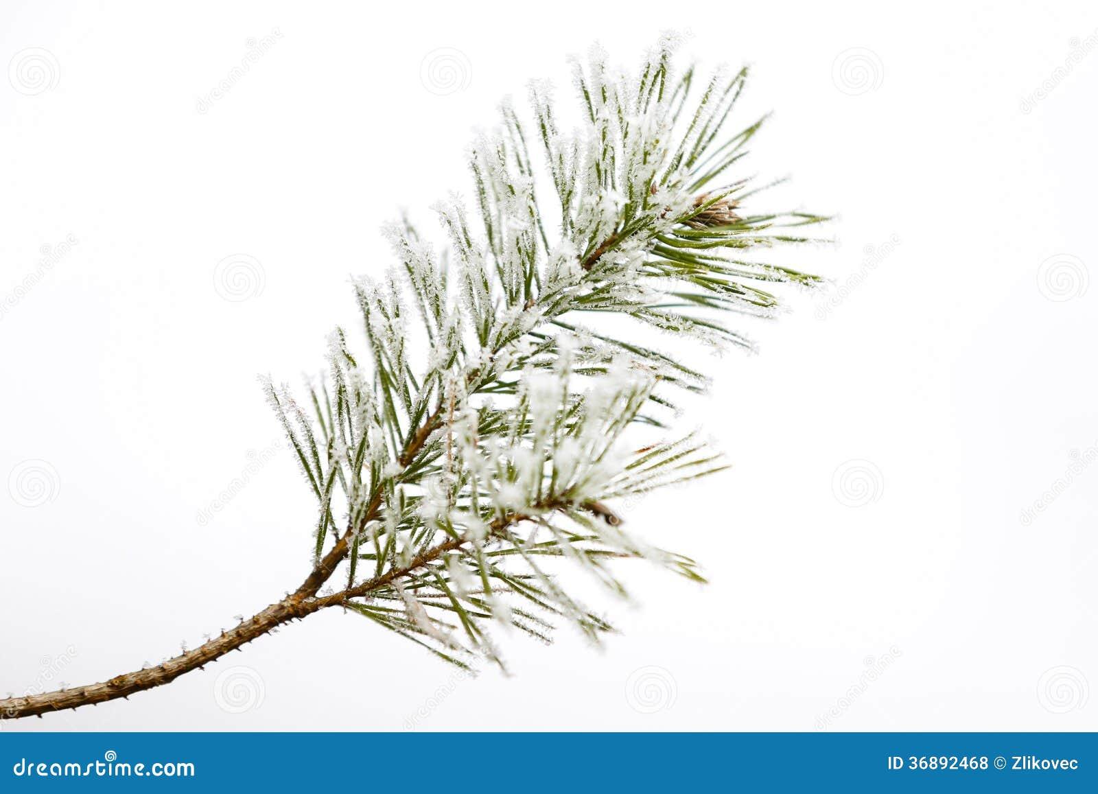 Download Ramo Gelido Isolato Del Pino Fotografia Stock - Immagine di coni, foresta: 36892468