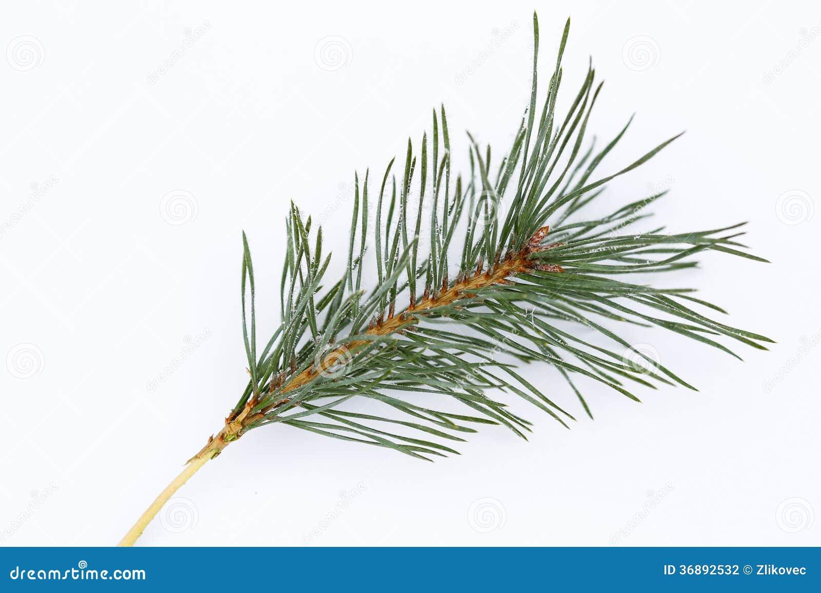 Download Ramo Gelido Isolato Del Pino Fotografia Stock - Immagine di stagione, albero: 36892532
