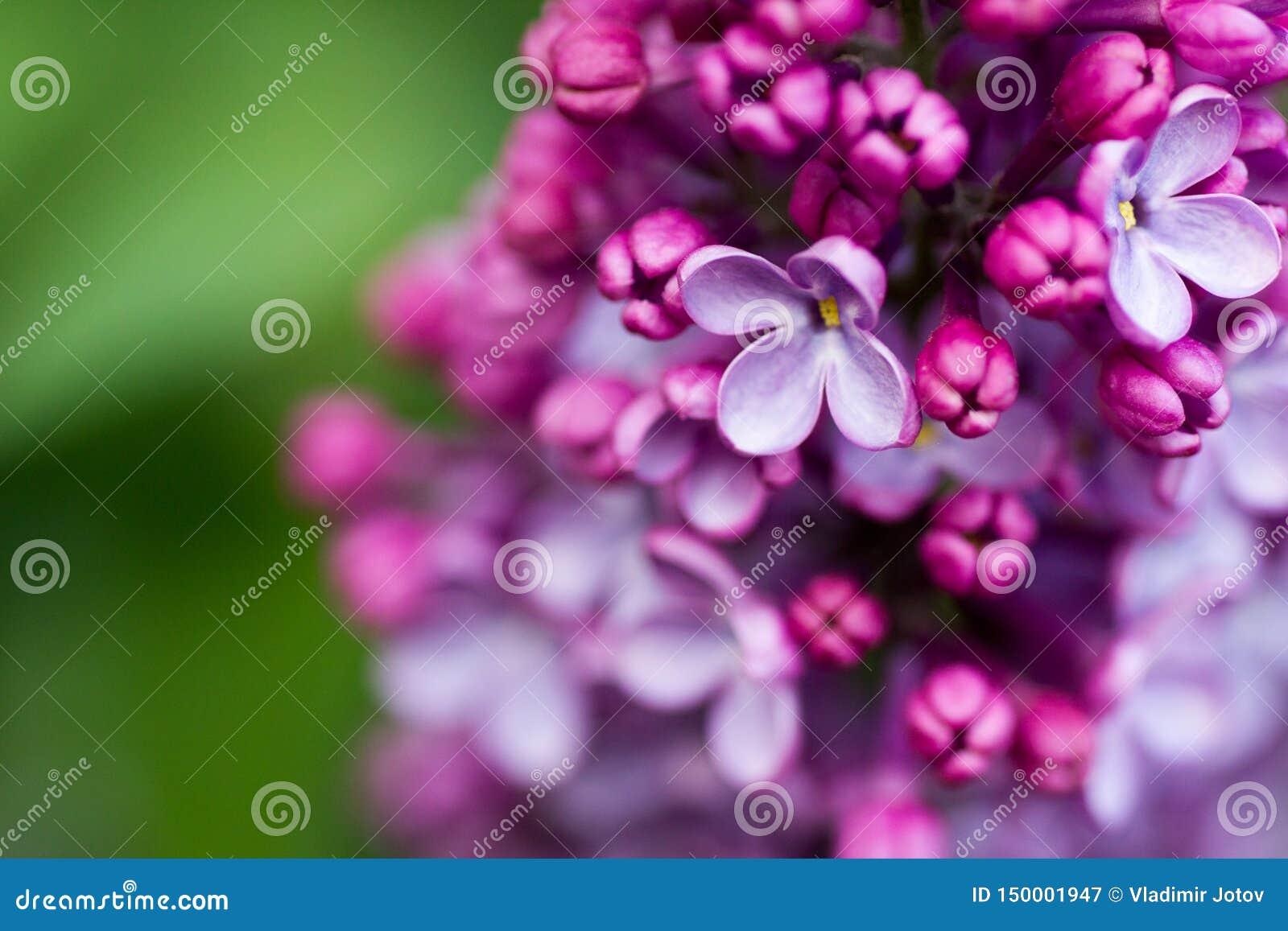 Ramo lilla fiori lilla sul ramo piccoli fiori lilla lilla