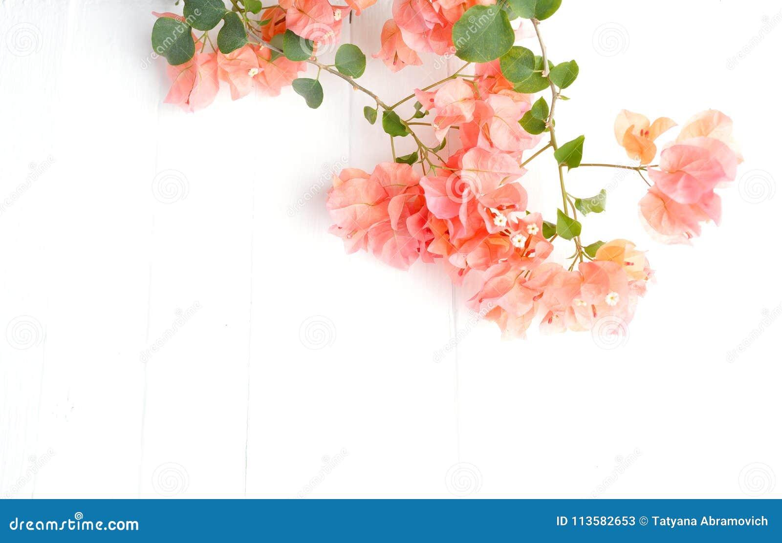Ramo rosa della buganvillea su un fondo di legno bianco