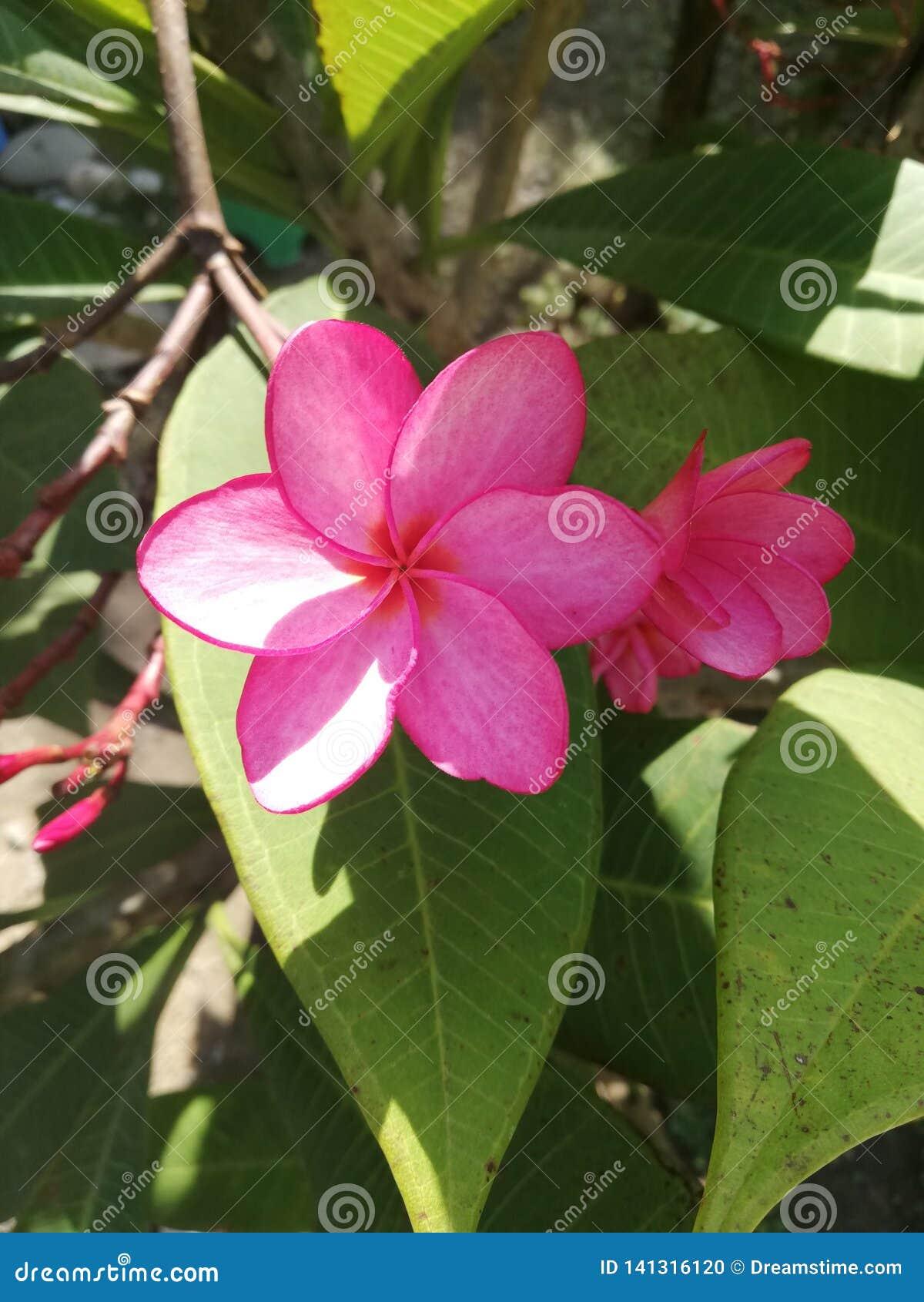 Ramo rosa luminoso del fiore del frangipane