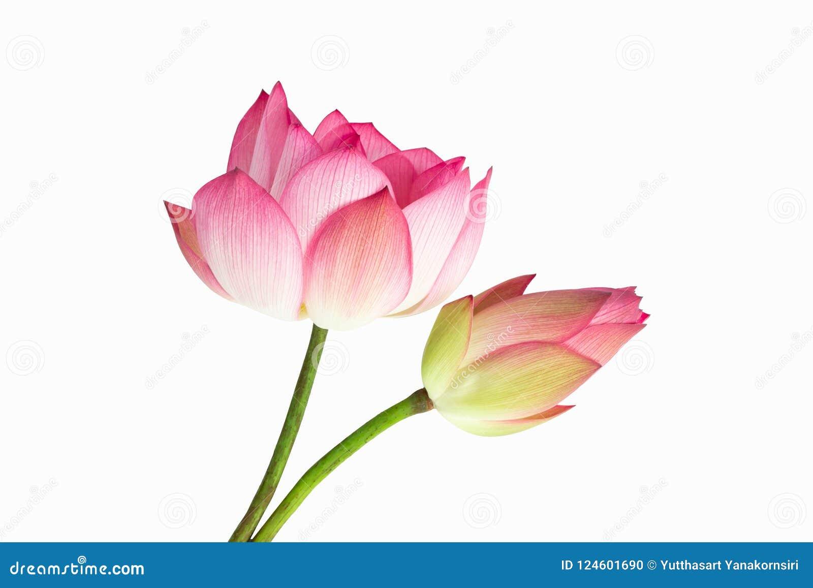 Ramo rosado hermoso de la flor de loto aislado en el fondo blanco
